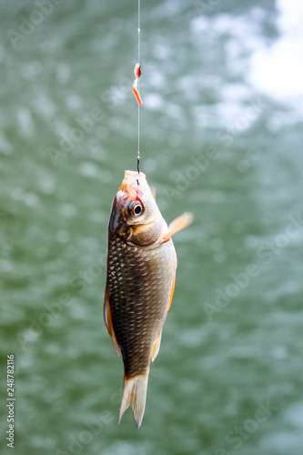 A small fish, hooked, fishermans catch on bait.