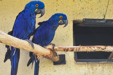 Two Blue Parrots On A Perch.