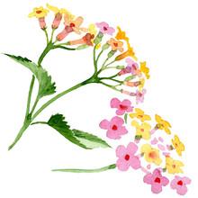 Pink Lantana Floral Botanical Flower. Watercolor Background Illustration Set. Isolated Lantana Illustration Element.