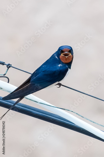 Valokuva  Swallow sits on the wire and opened her mouth