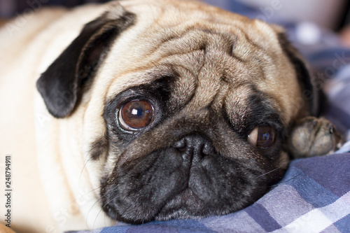 Cadres-photo bureau Chien Very sad dog pug with sad big eyes lies on a checkered rug