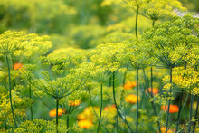 Dill Blooming In The Garden On...