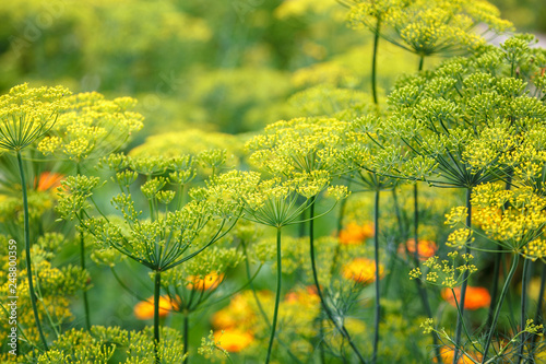 Fotografía Dill blooming in the garden on a sunny day