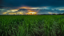 Sunrise Over Canefields