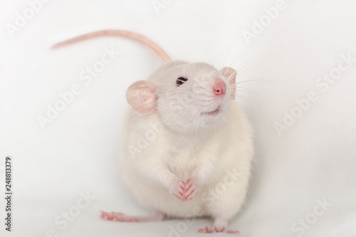 Photo  white smiling rat dumbo with big pink ears and nose