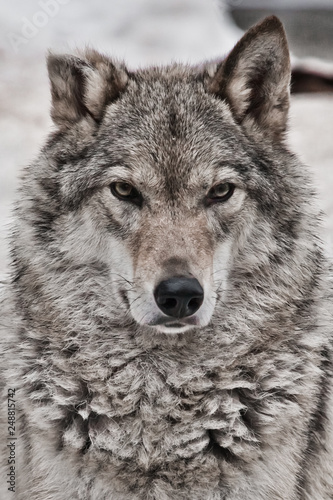 Papiers peints Loup Closeup portrait of a wolf, head of a powerful proud predator,