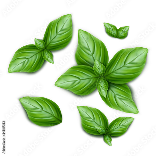Stampa su Tela Set of green basil leaves