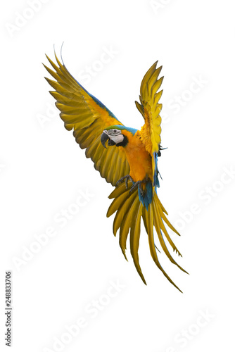 Photo sur Toile Perroquets Macaw flying isolated on white background