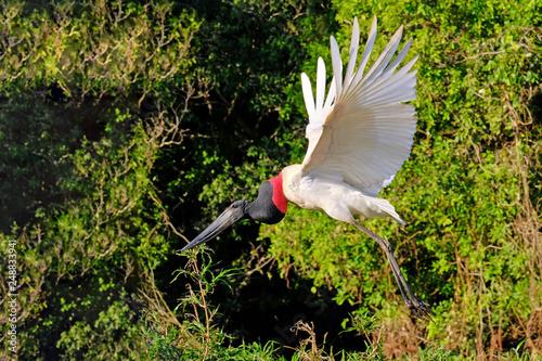 Fotografija  Jabiru Stork, Jabiru Mycteria, Cuiaba River, Porto Jofre, Pantanal Matogrossense