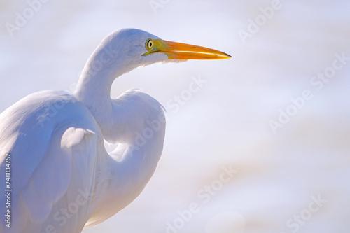 Fotografija  Beatiful portrait close up of Great egret, Egretta Alba, in the Pantanal, Porto
