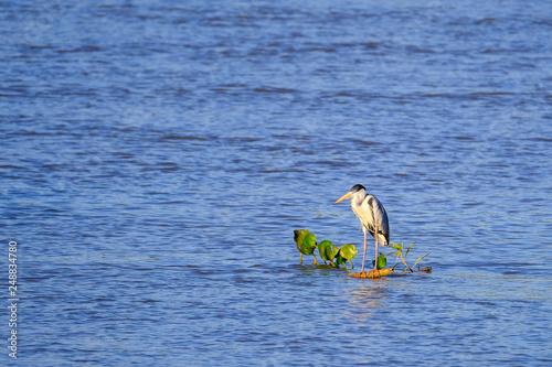 Fotografija  Cocoi Heron, Ardea Cocoi, floating on a branch on Cuiaba river, Pantanal, Porto