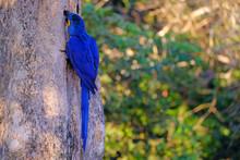 Hyacinth Macaw, Anodorhynchus ...