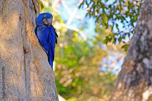 Fotografija  Hyacinth Macaw, Anodorhynchus Hyacinthinus, or Hyacinthine Macaw, Pantanal, Mato