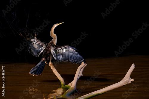 Fotografija  Anhinga, Anhinga Anhinga, also called Snakebird or Darter, Cuiaba River, Pantana