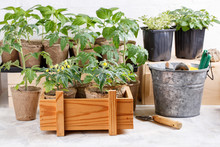 Tomato Seedlings In Peat Pots, Paprika And Herbs Seedlings On Background. Green Sprouts In Wooden Box.  Gardening Concept.