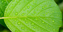 Beautiful Green Leaf With Rain Drops.Green Leaf Texture Background.