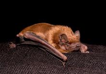 European Bat Common Noctule (Nyctalus Noctula) Close Up, Macro Portrait On Black Backround