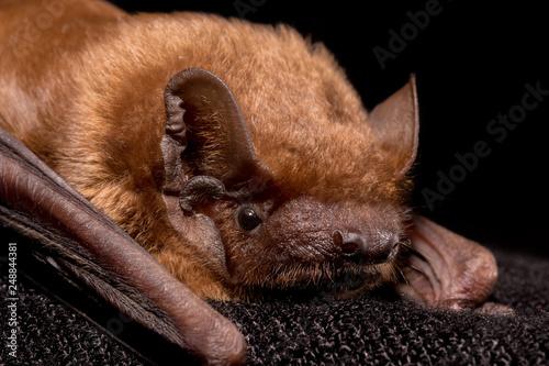European bat common noctule (Nyctalus noctula) close up, macro portrait on black Wallpaper Mural