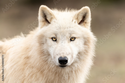 Aluminium Prints Wolf White Wolf in the forest