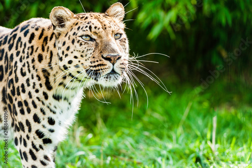 An Amur Leopard, also known as the far east leopard is a leopard native to parts of Russia and China and classified as critically endangered Canvas Print