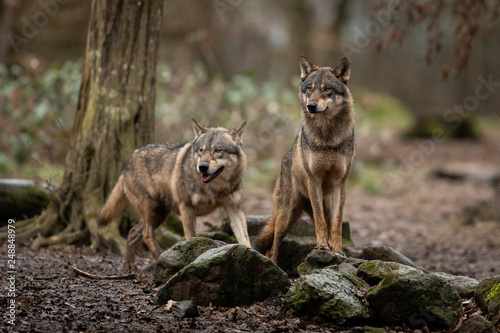 Spoed Fotobehang Wolf Grey Wolf in the forest