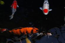 Beautiful Multicolor Koi Fishe...