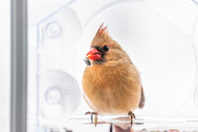 Closeup Of Female Red Northern Cardinal Cardinalis Bird Perched On Plastic Glass Window Feeder Eating Sunflower Seed Funny With Beak In Virginia