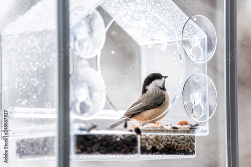 Tablou Canvas Closeup of black-capped or carolina chickadee bird perched on plastic glass wind