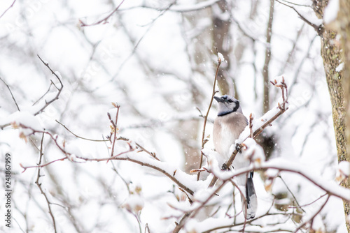 One blue jay Cyanocitta cristata bird sitting perched on tree branch during winter covered in snow in Virginia with snow flakes falling