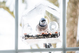 Blue jay Cyanocitta cristata bird perched on plastic glass window feeder looking for food during winter in Virginia with seeds