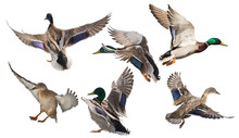 Six Mallard Ducks In Flight On White