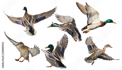 Valokuva six mallard ducks in flight on white