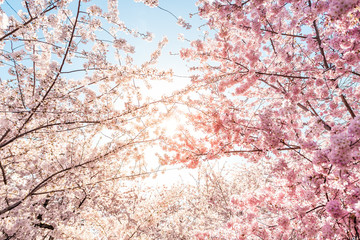 Fototapeta Optyczne powiększenie Low angle view of vibrant pink cherry blossom sakura tree sunburst through branch in spring in Washington DC during festival