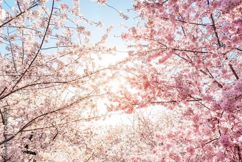 Leinwand Poster Low angle view of vibrant pink cherry blossom sakura tree sunburst through branc