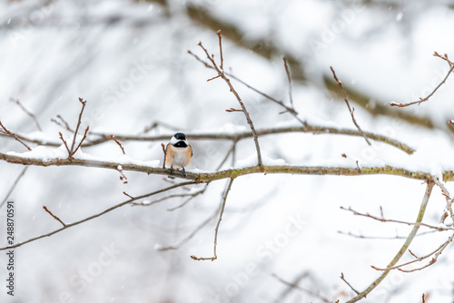 Small black-capped chickadee, poecile atricapillus, tit bird