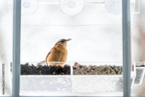 Fotografie, Obraz  Carolina wren bird sitting perched on plastic glass window feeder perch in winte