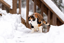 Calico Cat Outside Outdoors In Backyard During Snow Snowing Snowstorm By Wooden Fence Deck Stairs Stairway Railing With Closed Eyes In Garden On Lawn Walking Climbing