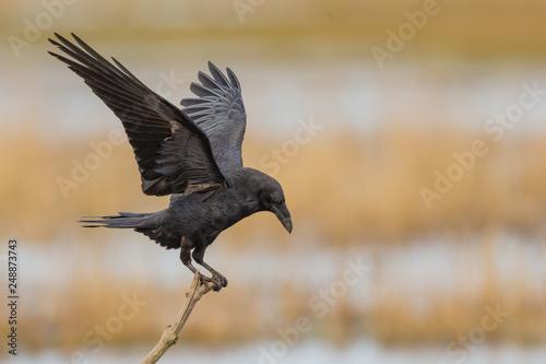 Leinwand Poster Kolkrabe (Corvus corax)