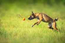 Malinois Sheepdog Run And Play Ball Toy At Summer Field