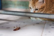 Golden Cat Gazing At A Cockroach