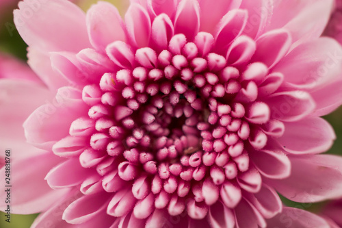 Fotografering Colorful chrysanthemum flower macro shot