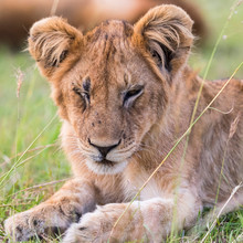 Tired Lion Cub Lying And Resting