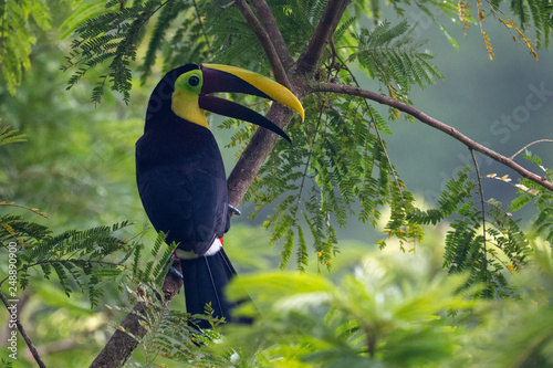 Tuinposter Toekan Keel-billed Toucan - Ramphastos sulfuratus, large colorful toucan from Costa Rica forest with very colored beak.