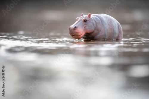 Toy hippopotamus in the water Fototapeta