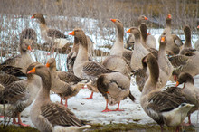 A Flock Of Domestic Geese Walking Outdoors In The Snow In Search Of Grass And Food