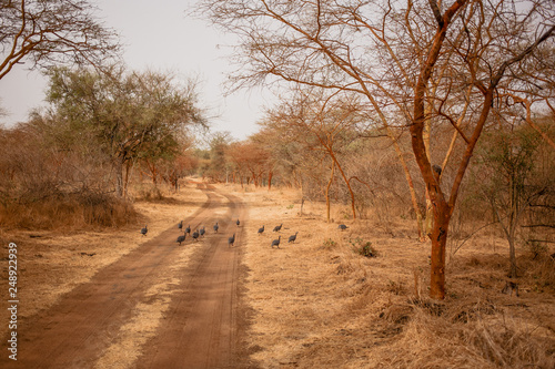 Birds running away on sandy road. Wild life in Safari. Baobab and bush jungles in Senegal, Africa. Bandia Reserve. Hot, dry climate