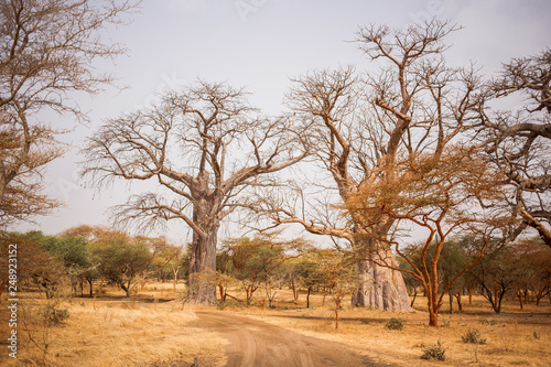 Two Big Baobabs on sandy land. Wild life in Safari. Baobab and bush jungles in Senegal, Africa. Bandia Reserve. Hot, dry climate