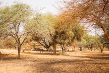Zebras Hiding Under The Trees. Wild Life In Safari. Baobab And Bush Jungles In Senegal, Africa. Bandia Reserve. Hot, Dry Climate