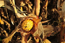 Golden Yellow Corn On The Cob With Withered Corn Plant