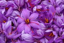 Harvest Flowers Of Saffron Aft...